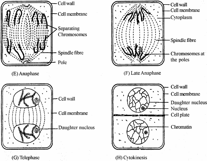 RBSE Solutions for Class 11 Biology Chapter 11 Cell Division img-4