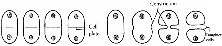 RBSE Solutions for Class 11 Biology Chapter 11 Cell Division img-5