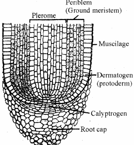 RBSE Solutions for Class 11 Biology Chapter 13 Plant Tissue: Internal Morphology and Anatomy img-11