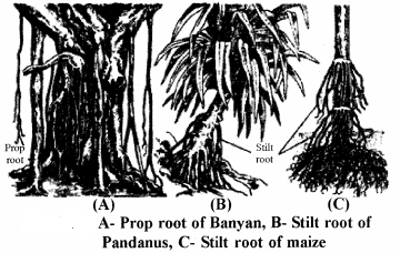RBSE Solutions for Class 11 Biology Chapter 17 Root: External Morphology img-2