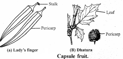 RBSE Solutions for Class 11 Biology Chapter 22 Fruit and Seed img-6