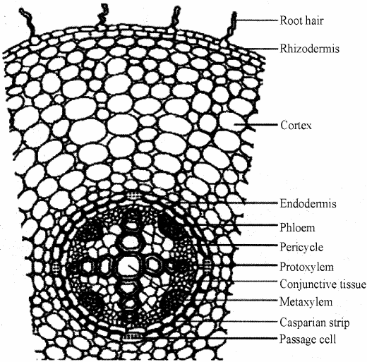 RBSE Solutions for Class 11 Biology Chapter 15 Internal Structure of Root, Stem and Leaf img-6