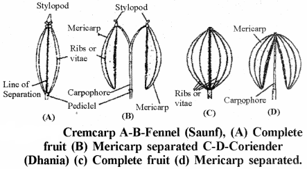 RBSE Solutions for Class 11 Biology Chapter 22 Fruit and Seed img-7