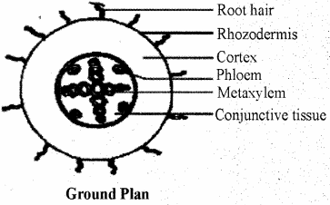 RBSE Solutions for Class 11 Biology Chapter 15 Internal Structure of Root, Stem and Leaf img-7