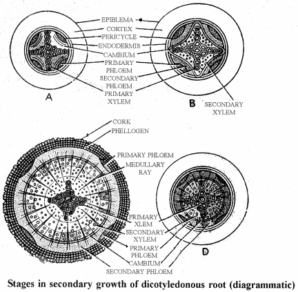 RBSE Solutions for Class 11 Biology Chapter 16 Normal Secondary Growth in Stem and Root img-7