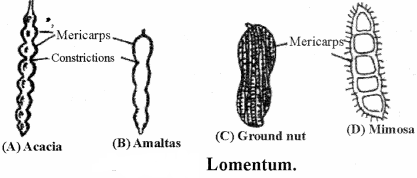 RBSE Solutions for Class 11 Biology Chapter 22 Fruit and Seed img-8