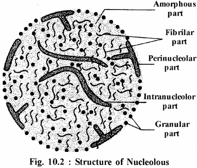 RBSE Solutions for Class 11 Biology Chapter 10 Nucleus and Chromosomes img-7