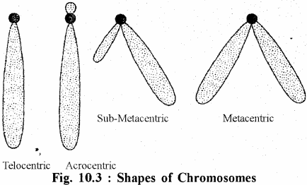 RBSE Solutions for Class 11 Biology Chapter 10 Nucleus and Chromosomes img-1