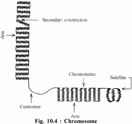 RBSE Solutions for Class 11 Biology Chapter 10 Nucleus and Chromosomes img-8