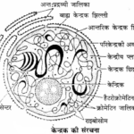 RBSE Solutions for Class 11 Biology Chapter 10 केन्द्रक एवं गुणसूत्र