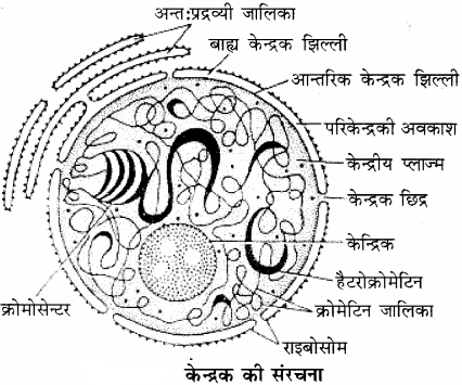 RBSE Solutions for Class 11 Biology Chapter 10 केन्द्रक एवं गुणसूत्र img-1