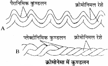 RBSE Solutions for Class 11 Biology Chapter 10 केन्द्रक एवं गुणसूत्र img-2
