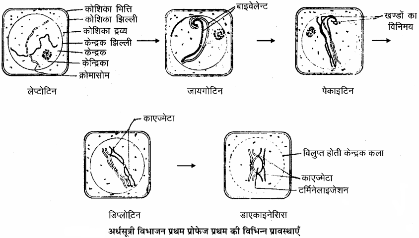 RBSE Solutions for Class 11 Biology Chapter 11 कोशिका विभाजन img-4