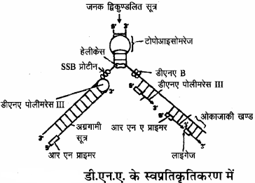 RBSE Solutions for Class 11 Biology Chapter 12 आण्विक जीवविज्ञान img-10