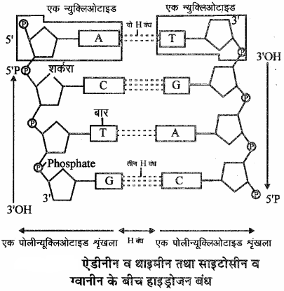 RBSE Solutions for Class 11 Biology Chapter 12 आण्विक जीवविज्ञान img-8