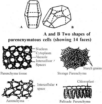 RBSE Solutions for Class 11 Biology Chapter 13 Plant Tissue: Internal Morphology and Anatomy img-15