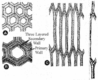RBSE Solutions for Class 11 Biology Chapter 13 Plant Tissue: Internal Morphology and Anatomy img-18
