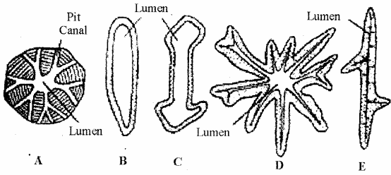 RBSE Solutions for Class 11 Biology Chapter 13 Plant Tissue: Internal Morphology and Anatomy img-19