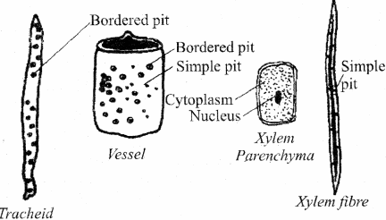 RBSE Solutions for Class 11 Biology Chapter 13 Plant Tissue: Internal Morphology and Anatomy img-22