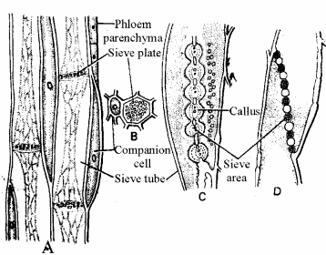 RBSE Solutions for Class 11 Biology Chapter 13 Plant Tissue: Internal Morphology and Anatomy img-23
