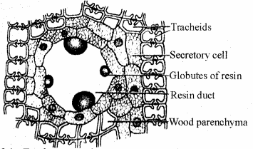 RBSE Solutions for Class 11 Biology Chapter 13 Plant Tissue: Internal Morphology and Anatomy img-26