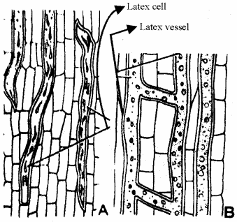 RBSE Solutions for Class 11 Biology Chapter 13 Plant Tissue: Internal Morphology and Anatomy img-28