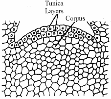 RBSE Solutions for Class 11 Biology Chapter 13 Plant Tissue: Internal Morphology and Anatomy img-1