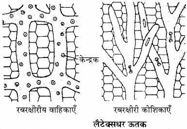 RBSE Solutions for Class 11Chapter 13 पादप ऊतक: आंतरिक आकारिकी img-14
