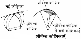 RBSE Solutions for Class 11Chapter 13 पादप ऊतक: आंतरिक आकारिकी img-2