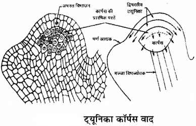 RBSE Solutions for Class 11Chapter 13 पादप ऊतक: आंतरिक आकारिकी img-4