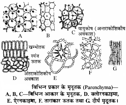 RBSE Solutions for Class 11Chapter 13 पादप ऊतक: आंतरिक आकारिकी img-7