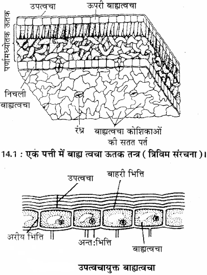 RBSE Solutions for Class 11 Biology Chapter 14 पादप ऊतक तंत्र img-1