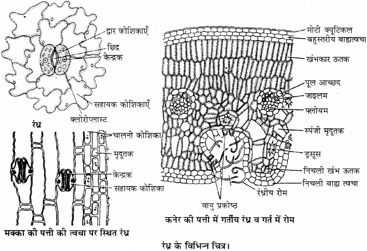 RBSE Solutions for Class 11 Biology Chapter 14 पादप ऊतक तंत्र img-2