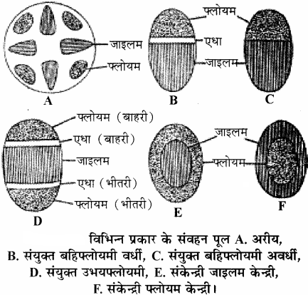 RBSE Solutions for Class 11 Biology Chapter 14 पादप ऊतक तंत्र img-6