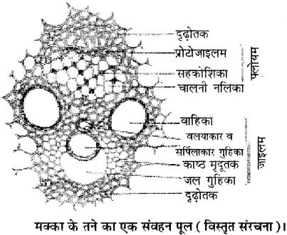 RBSE Solutions for Class 11 Biology Chapter 15 जड़, तना तथा पत्ती की आंतरिक संरचना img-6