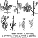 RBSE Solutions for Class 11 Biology Chapter 18 तना-बाह्य आकारिकी
