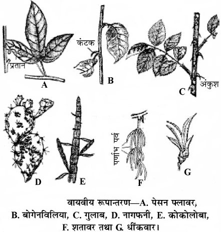 RBSE Solutions for Class 11 Biology Chapter 18 तना-बाह्य आकारिकी img-2