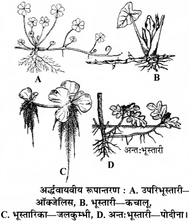 RBSE Solutions for Class 11 Biology Chapter 18 तना-बाह्य आकारिकी img-3