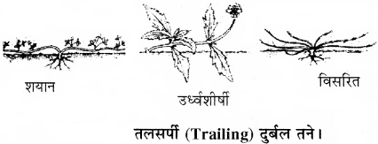 RBSE Solutions for Class 11 Biology Chapter 18 तना-बाह्य आकारिकी img-4