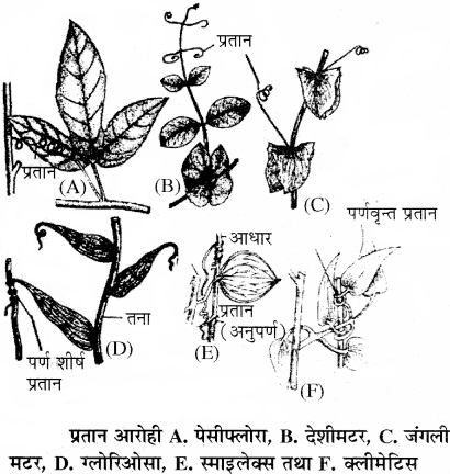 RBSE Solutions for Class 11 Biology Chapter 18 तना-बाह्य आकारिकी img-6