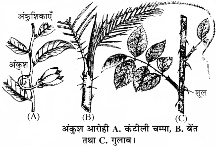 RBSE Solutions for Class 11 Biology Chapter 18 तना-बाह्य आकारिकी img-7