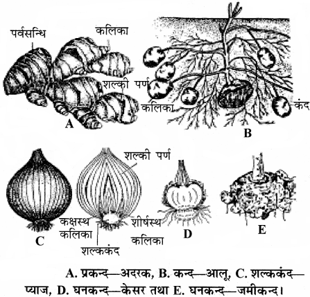 RBSE Solutions for Class 11 Biology Chapter 18 तना-बाह्य आकारिकी img-10