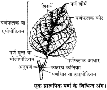 RBSE Solutions for Class 11 Biology Chapter 19 पर्ण-बाह्य आकारिकी img-1