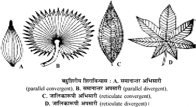 RBSE Solutions for Class 11 Biology Chapter 19 पर्ण-बाह्य आकारिकी img-4