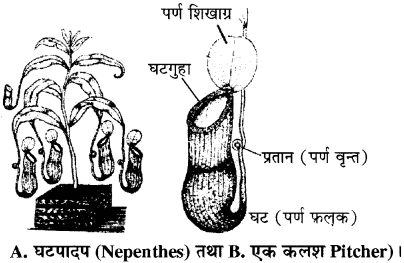 RBSE Solutions for Class 11 Biology Chapter 19 पर्ण-बाह्य आकारिकी img-7