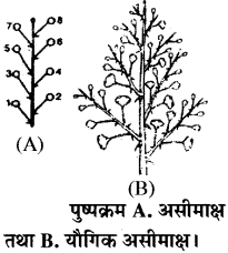 RBSE Solutions for Class 11 Biology Chapter 20 पुष्पक्रम img-1