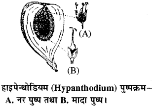 RBSE Solutions for Class 11 Biology Chapter 20 पुष्पक्रम img-9