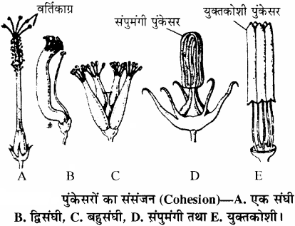 RBSE Solutions for Class 11 Biology Chapter 21 पुष्प img-5