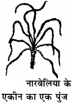 RBSE Solutions for Class 11 Biology Chapter 22 फल तथा बीज img-21