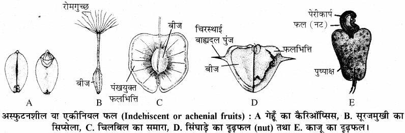 RBSE Solutions for Class 11 Biology Chapter 22 फल तथा बीज img-22